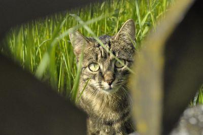 szürke macska, zöld fű, természet, állat, macska, kisállat, szőrme, bajusz, kitty