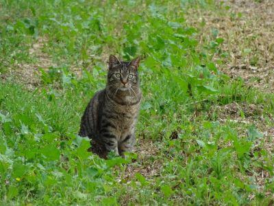 Cat, příroda, roztomilý, zvířat, mladá, kožešiny, portrét