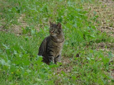 kočka, zvíře, přírody, roztomilý, srst, portrét, young, kočkovitá šelma, pet
