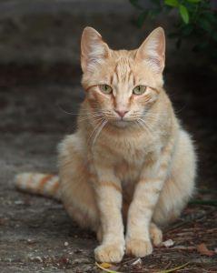 gatto, carino, ritratto, gattino, animali, pet, pelliccia, occhio, giovani
