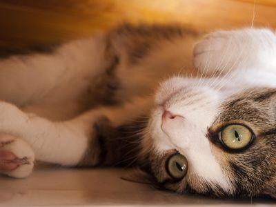 gato, gatito, mascota, retrato, animales, ojo, lindo, felino