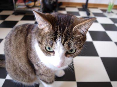 cute, cat, eye, fur, feline, kitty, kitchen, kitten, pet, whiskers