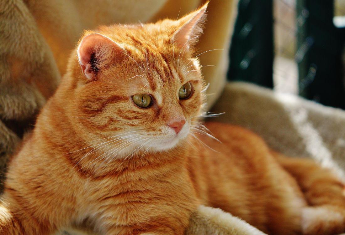 Kot, Ładna, pieścić, portret, oko, zwierzę, futro, kotek, kotów