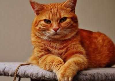 кішка портрет милі, тварина, котячих, кошеня, Кітті, хутро, ПЕТ