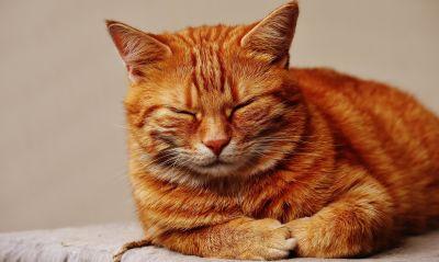 Cat, roztomilé zvíře, kožešiny, pet, portrét, kočkovitá šelma, kotě, kočička