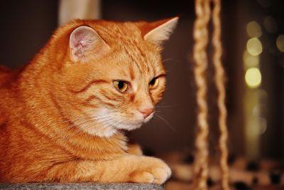 cat, cute, portrait, animal, pet, kitten, feline, kitty, young