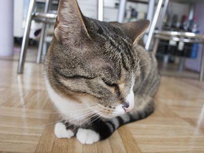 mignon, chat, portrait, sit, young, animal de compagnie, intérieur, cuisine, animaux, kitty, félin