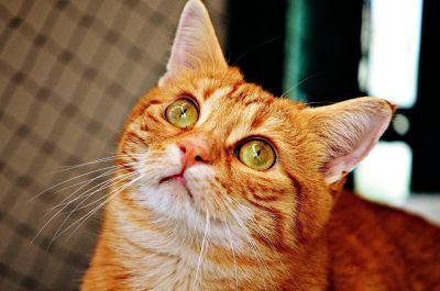 cat, portrait, pet, animal, cute, feline, fence, kitty, kitten, fur