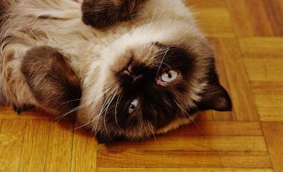 pet, cute, animal, cat, fur, portrait, parquet, adorable