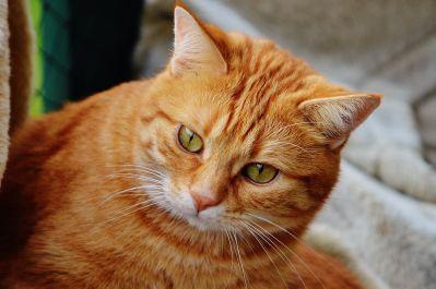 portret, pieścić, uroczy, zwierząt, oko, futro, kotów, kot, kotek