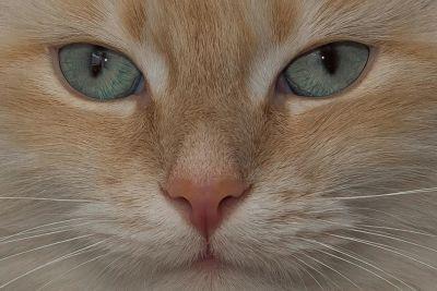 gatto, occhi, cute, ritratto, gattino, naso, animali, pet, felino, kitty