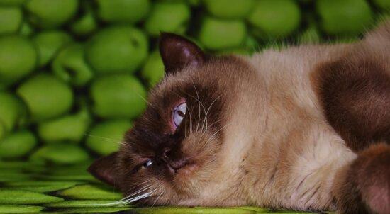 Gato lindo, felino, mascota, pelaje, gatito, gatito, ojos, bigotes