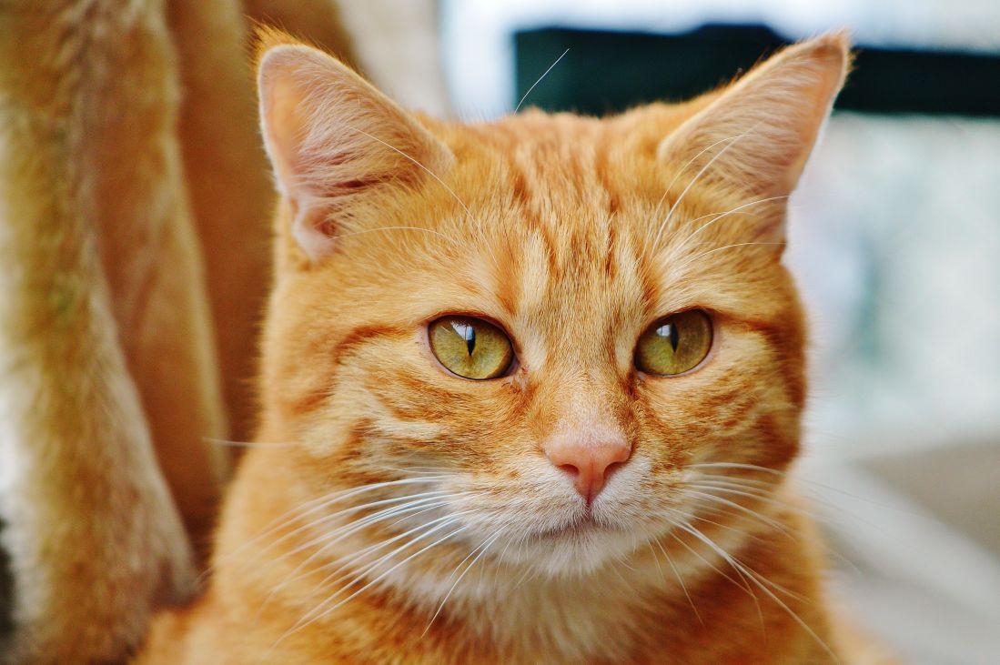kostenlose bild niedlich tier katze haustier fell katze kopf kitty k tzchen schnurrhaare. Black Bedroom Furniture Sets. Home Design Ideas