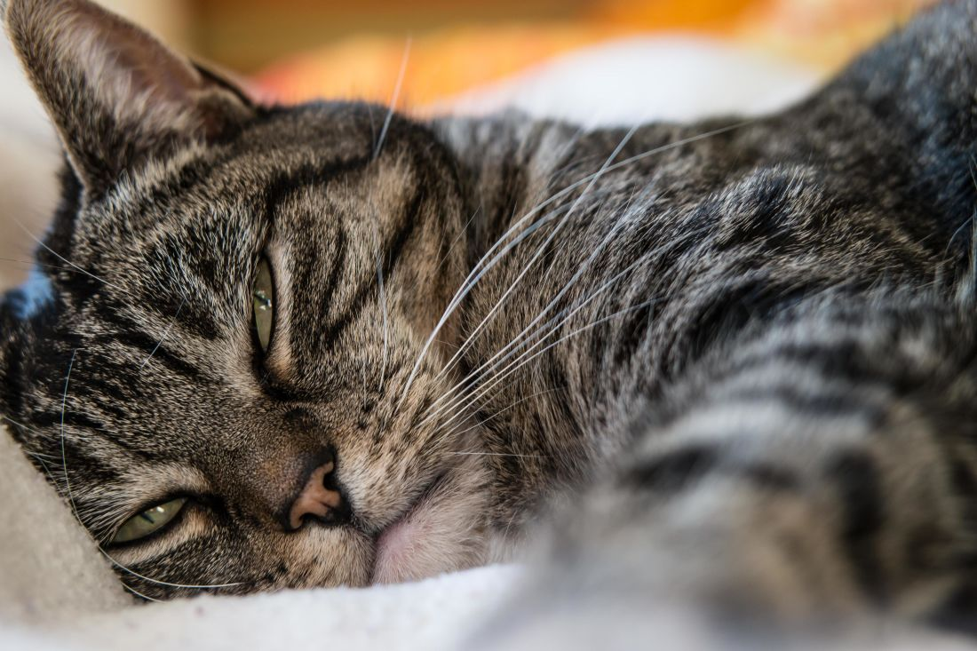 cat, animal, pet, portrait, fur, cute, kitten, eye, sleep, adorable