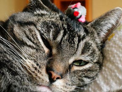 cat, animal, pet, fur, cute, kitten, eye, portrait, whisker