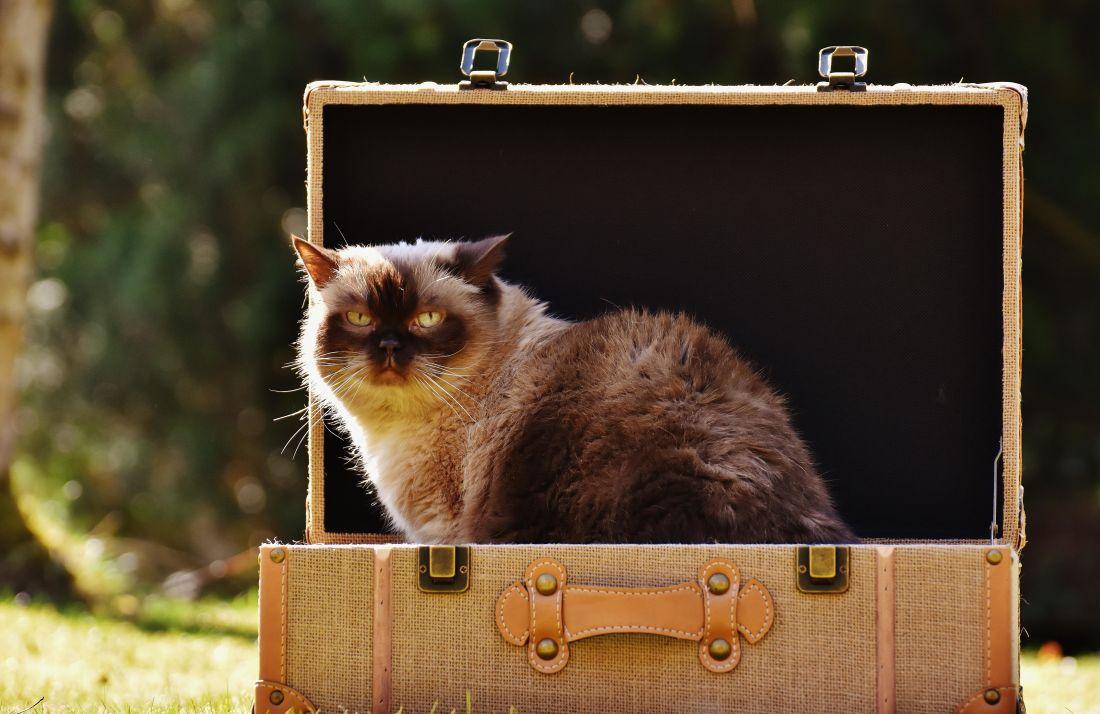 cat, box, fur, animal, luggage, kitten, cute, pet, kitty, feline