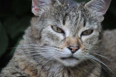 kočka, zvíře, kožešiny, roztomilý, oko, šedá, portrét, wildlife