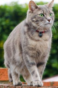 kat, dyr, sød, pels, pet, portræt, øjet, killing, unge, grå, udendørs