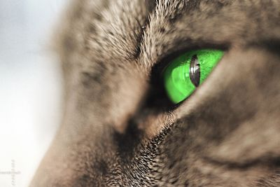 cat, feline, pet, fur, eyes, eye, kitty, whiskers, kitten