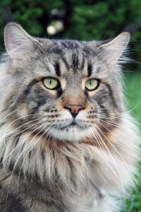 Katze, Tier, Porträt, niedlich, pet, Kopf, grau, Fell, Katze