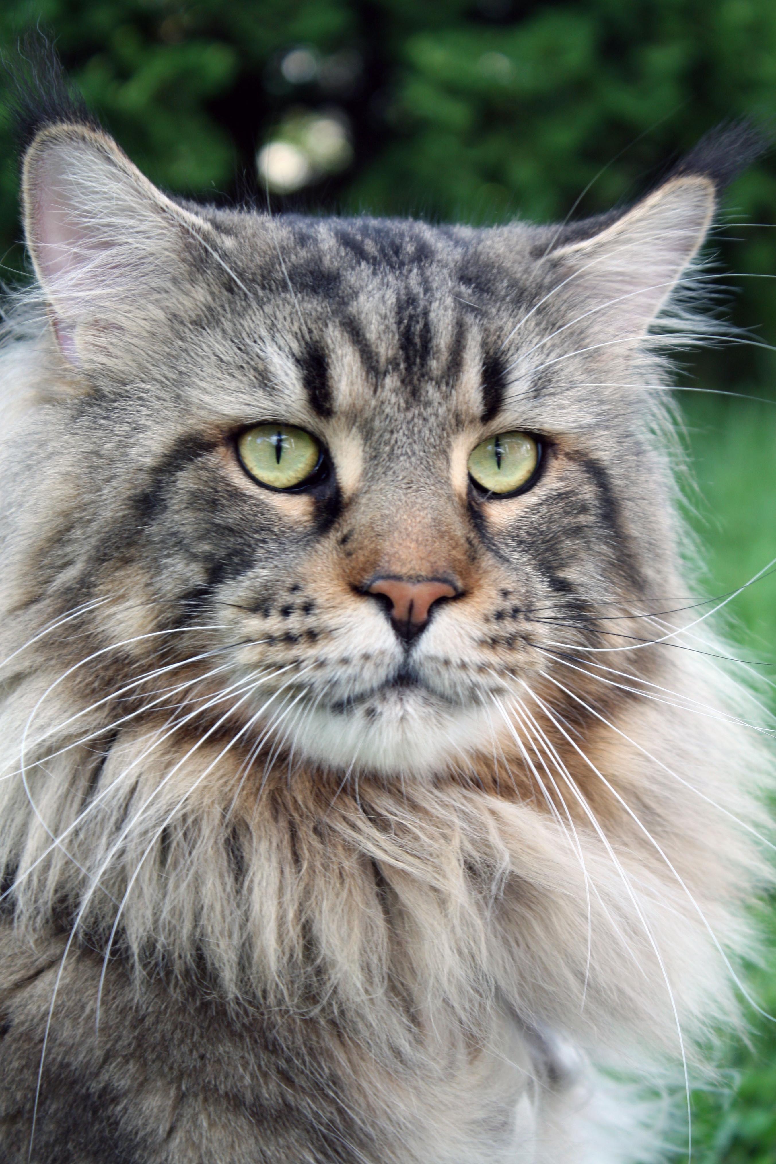 Free picture: cat, animal, portrait, cute, pet, head, gray ...
