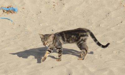 nature, cat, cute, feline, sand, beach, kitten, pet, fur, kitty, whiskers
