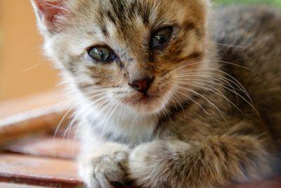 cat, cute, animal, fur, portrait, kitten, feline, kitty