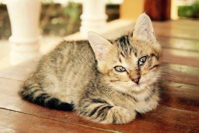 chat, chaton mignon, pet, fourrure, animal, félin, chat domestique, curieux, kitty, moustaches
