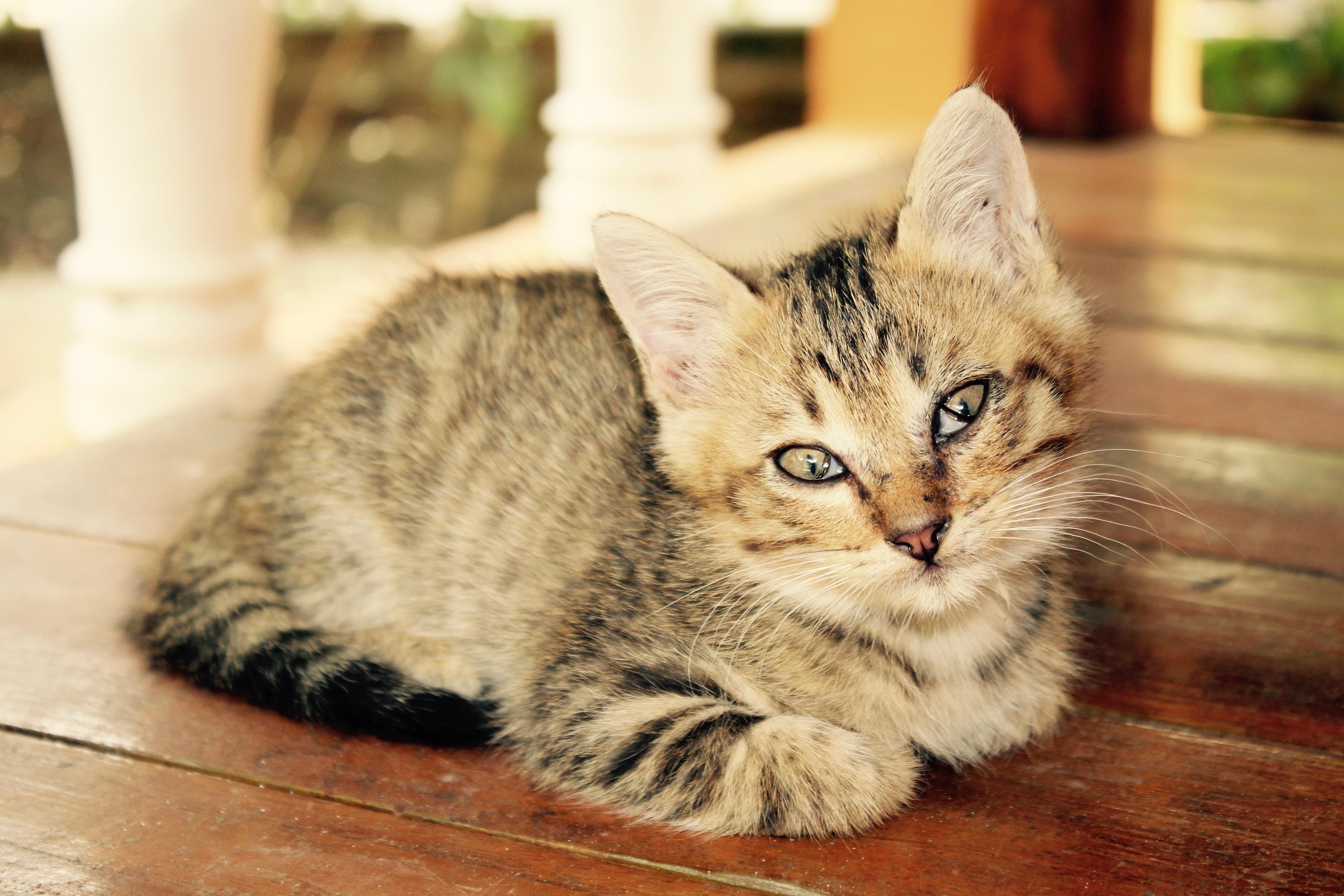 картинка домашнего животного кошка перенести выкройки