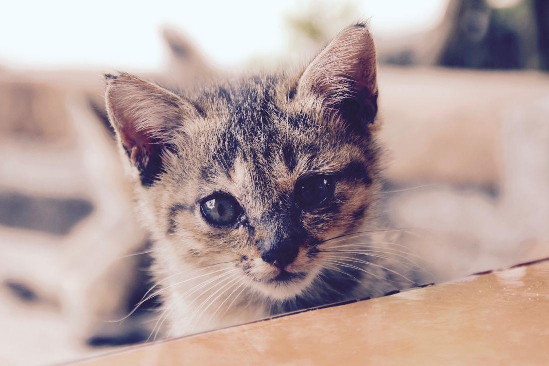 Image libre chat chaton animaux animal mignon yeux - Animal mignon ...