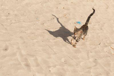 písek, pláž, písek, v přírodě, domácí kočka, zvíře, stín