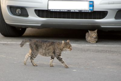 cat, car, street, urban, road, gray, domestic cat