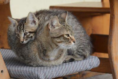 회색 고양이, 인테리어, 애완 동물, 고양이, 귀여운, 초상화, 모피, 동물, 고양이