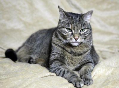 portré, szürke macska, állat, kisállat, aranyos, portré, kíváncsi