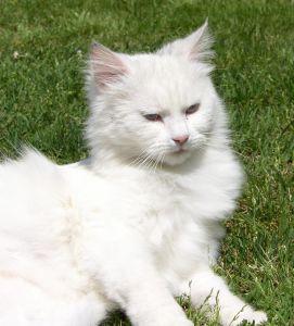 beyaz kedi, şirin, kürk, çim, Farsça kedi, hayvan, Evcil Hayvan, kedi, göz, bıyık