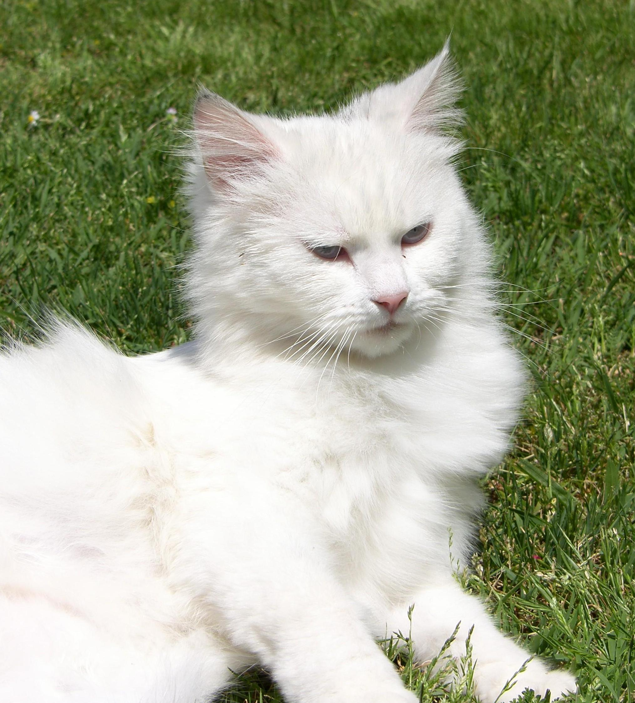 white cat, cute, fur, grass, persian cat, animal, pet, kitten, eye, whisker