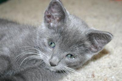 gris, animal, mignon, animal, fourrure, chaton, gris, kitty, chat, félin