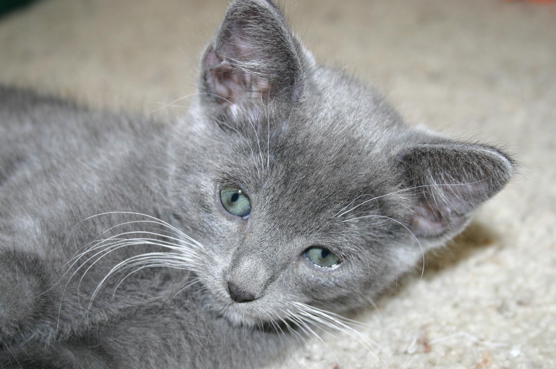 вас фотографии котят серых вариант