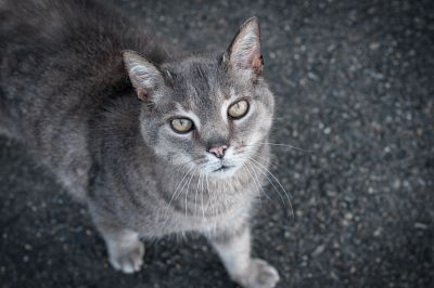 cat, cute, animal, pet, grey cat, asphalt, curious