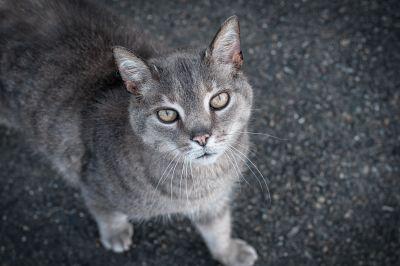 mačka, slatka, životinja, ljubimac, siva mačka, asfalt, znatiželjan