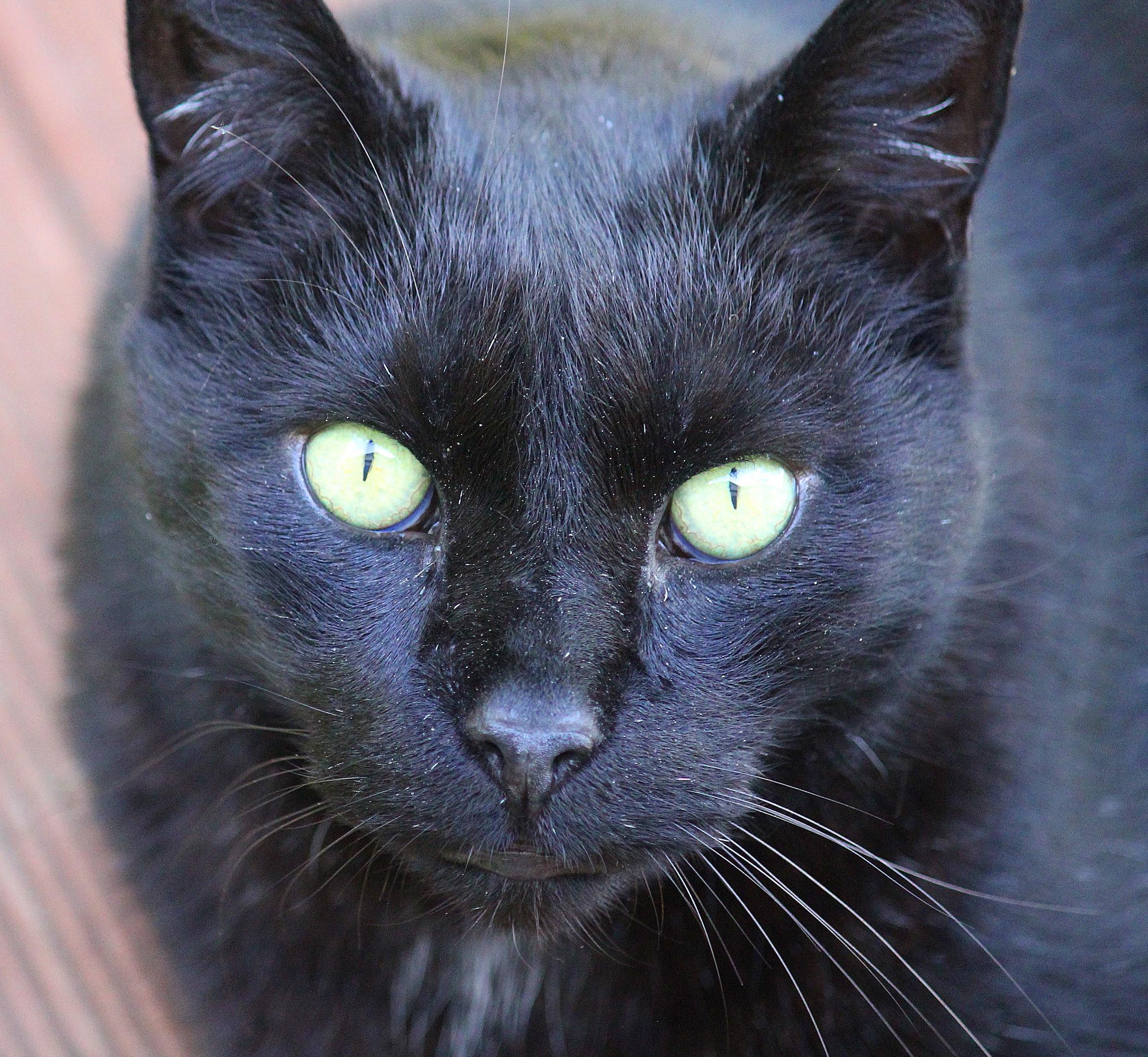 Free Picture Black Cat Cute Eye Portrait Fur Pet Animal Whisker