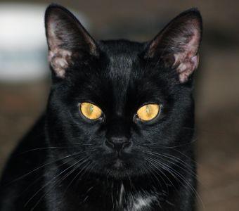 chat noir, animal, portrait, animal, mignon, chaton, oeil, fourrure, kitty