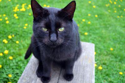 Katze, Tier, niedlich, Rasen, Natur, Löwenzahn, Wiese, schwarz