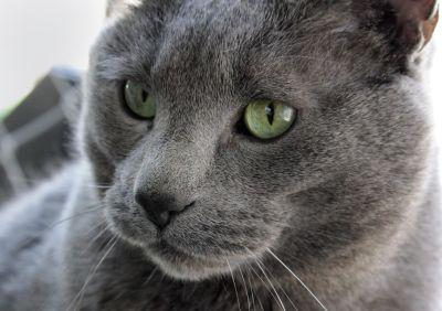 cat, cute, animal, eye, portrait, fur, grey, pet, kitten