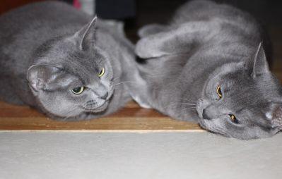 cat, pet, animal, cute, kitten, portrait, grey, sit, fur