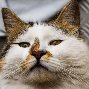 cat, pet, cute, animal, kitten, portrait, eye, fur, whisker