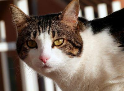 cat, portrait, cute, eye, pet, animal, fur, kitten, feline