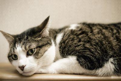cat, kitten, pet, animal, cute, fur, eye, portrait, adorable