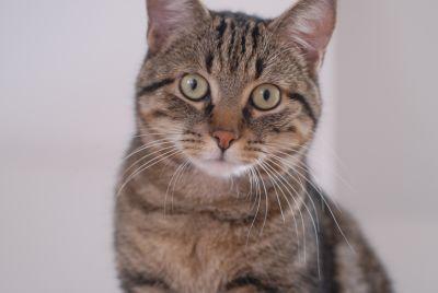 cute, portrait, pet, animal, cat, feline, predator, kitty, kitten, fur