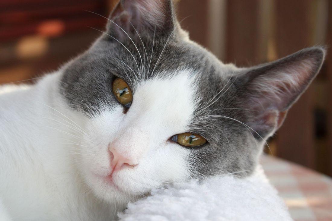 kostenlose bild niedlich katze fell augen haustier tier portr t k tzchen kitty. Black Bedroom Furniture Sets. Home Design Ideas